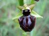 Ophrys incubacea (between Naples and Gargano)