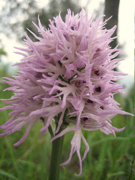 Orchis italica (between Naples and Gargano)