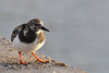 Arenaria interpres, Ruddy Turnstone in English, steenloper in Dutch (Los Cristianos Ferry Port, Tenerife)
