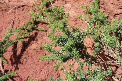 Pinus canariensis (2km S of Centro de Vistantes Juego de Bolas, near Hormiga)