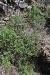 Lavandula canariensis (southfacing slope of the Barranco de Las Angustias, 450m, along LP1)