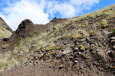 Aeonium nobile - endemic to La Palma (along the LP-1, climbing to Mirador El Time, Barranco de las Angustias)