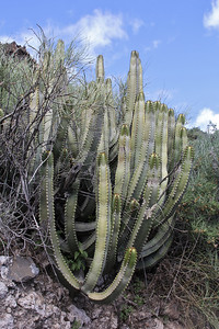 Euphorbia canariensis (southfacing slope of the Barranco de Las Angustias, 450m, along LP1)