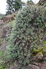 Senecio palmensis (near Torre del Time, S of Hoya Grande 1387m)