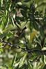 Phylloscopus canariensis, (NL: Canarische tjiftjaf), S of Fuencaliente (Los Canarios) LP207