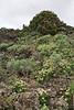 Habitat of Todaroa aurea (S of Funcaliente/ Los Canarios)