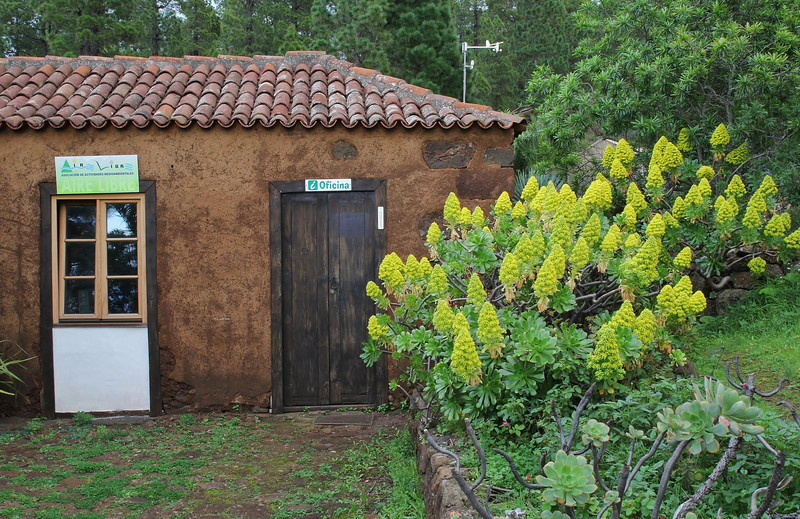 Campsite Los Rosas, 960m near Puntagorda - our base during our trip to La Palma. Cultivated Aeonium holochrysum