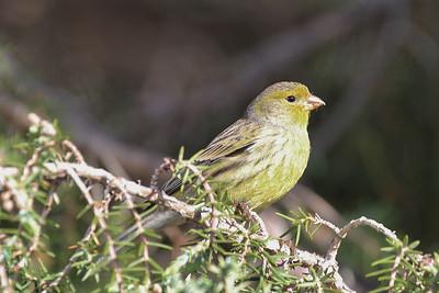 Serinus canaria, Atlantic Canary (El centro de visitantes de La Caldera de Taburiente, El Paso)