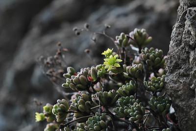 Aeonium sedifolium (along the LP-1, climbing to Mirador El Time, Barranco de las Angustias)