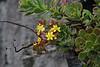 Aeonium spathulatum var. cruentum (along LP2, near Monte de Luna)