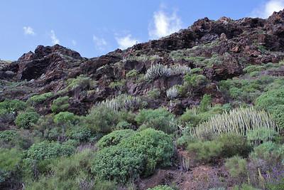 Euphorbia balsamifera and Euphorbia canariensis (southfacing slope of the Barranco de Las Angustias, 450m, along LP1)