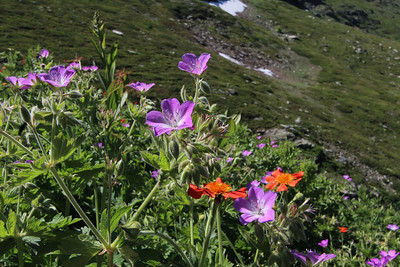 Geranium pratense or Geranium sylvaticum with Geum coccineum