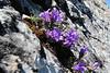 Edraianthus graminifolius?