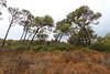 Pinus brutia ssp. halepensis, north of Cap de ses Salines