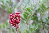 Pistacia lentiscus (Parque Natural Mondragó)