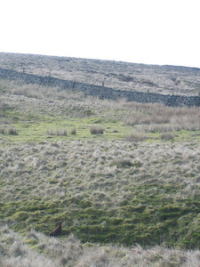 Grouse, Penyghent