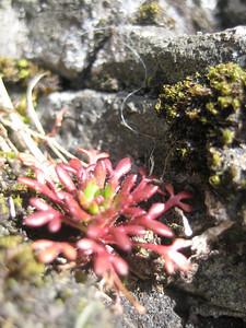 Saxifraga tridactylites, Penyghent