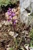Orchis anatolicus