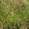 Potentilla erecta (tormentil), Erica tetralix and Calluna vulgaris
