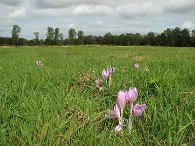 Colchicum autumnale, Plateaux, September 2009