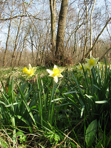 Narcissus pseudonarcissus, La Calamine, Belgium