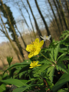 Anemone ranunculoides, La Calamine, Belgium