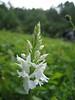 Dactylorhiza fuchsii (white form), Sint Pietersberg