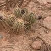 Echinocereus  engelmannii, E. fasciculatus or Echinocereus fendleri?