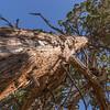 Juniperus occidentalis, not Calocedrus decurrens?