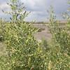 Sarcobatus vermiculatus