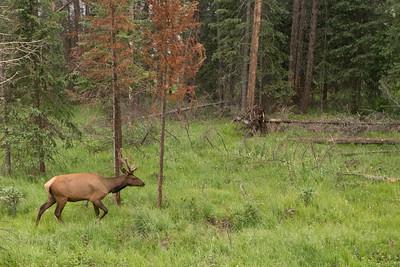 Cervus elaphus, male (Elk)
