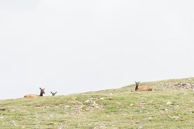 "Cervus canadensis (Elk or ""Wapiti""), female"