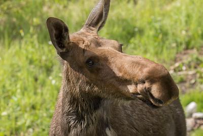 Alces alces (Moose), female