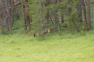 """Cervus canadensis (Elk or """"Wapiti""""), female and calf"""