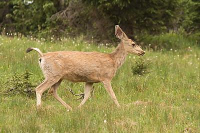 Odocoileus hemionus (Mule Deer), female