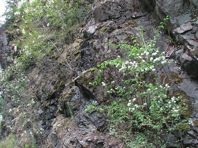 Philadelphus lewisii (near Quilcene)
