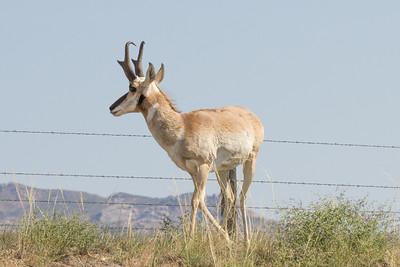 Antilocapra americana (Pronghorn antelope, male)
