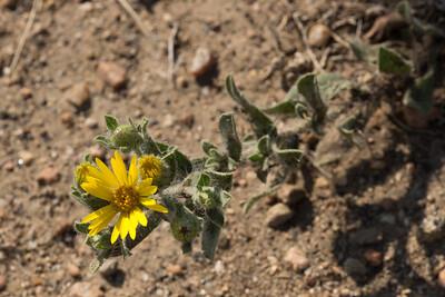 Heterotheca villosa? (syn. Chrysopsis villosa)