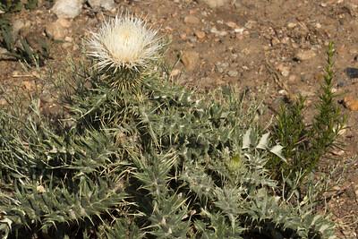 Cirsium scariosum, (syn. C. foliosum, C. tioganum)