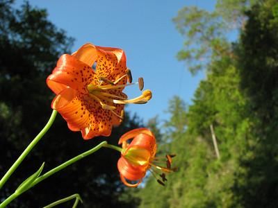 Lilium pardalinum, California