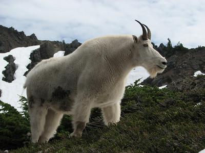 Mountain Goat, Olympic Mountains