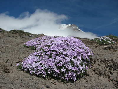 Phlox diffusa, Mount Rainier, Washington