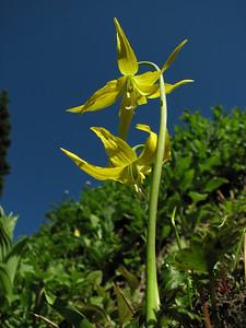 Erythronium grandiflorum, between Paradise and Hurricane Ridge, Olympic Mountains