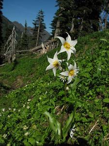 Erythronium montanum, between Paradise and Hurricane Ridge, Olympic Mountains