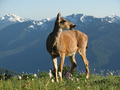 Black-tailed deer (female), between Paradise and Hurricane Ridge, Olympic Mountains
