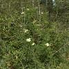 Sambucus caerulea