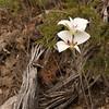 Calochortus nuttallii, Sego Lily, State flower of Utah, Wasatch Range