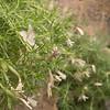 Phlox longifolia, Longleaf Phlox, Wasatch Range