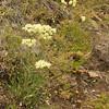 Eriogonum, which species? (Wasatch Range)