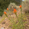 Castelleja linariifolia?, Wyoming Paintbrush, State-flower of Wyoming, Wasatch Range